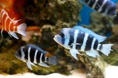 Pescados de la cebra Foto de archivo libre de regalías