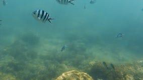 Pescados de la cebra subacuáticos metrajes