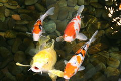 pescados de la charca fotografía de archivo libre de regalías