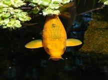 Pescados de la charca Fotos de archivo libres de regalías