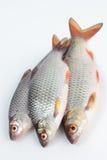 Pescados de la cucaracha Foto de archivo libre de regalías