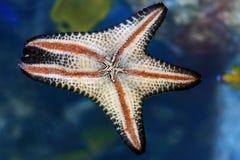 Pescados de la estrella Fotografía de archivo libre de regalías