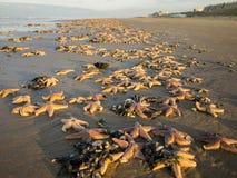 Pescados de la estrella en la playa Imagen de archivo