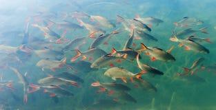 Pescados de la lengüeta del papel de estaño en el agua Fotos de archivo