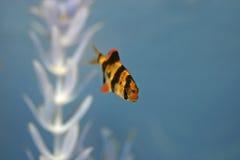 Pescados de la lengüeta del tigre en Aqaurium Fotografía de archivo libre de regalías