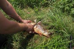 Pescados de la limpieza del pescador de escalas Fotografía de archivo