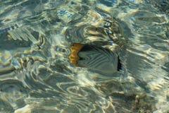 Pescados de la mariposa Imagenes de archivo