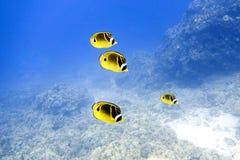 Pescados de la mariposa del mapache en agua azul profunda Imágenes de archivo libres de regalías