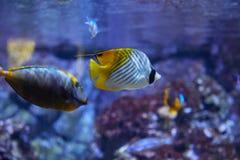 Pescados de la mariposa del mar Fotografía de archivo