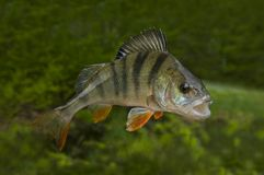 Pescados de la perca aislados en fondo verde natural Imagen de archivo