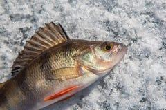 Pescados de la perca en el hielo Imagen de archivo