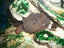 Pescados de la roca Foto de archivo libre de regalías