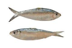 Pescados de la sardinella o del Clupeidae aislados en el fondo blanco Imagenes de archivo