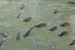 Pescados de la Tilapia en granja Foto de archivo