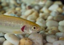 Pescados de la trucha arco iris del oro en cierre para arriba en un acuario fotografía de archivo libre de regalías