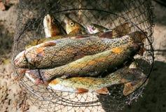 Pescados de la trucha de arroyo en una red de pesca después de pescar Fotos de archivo