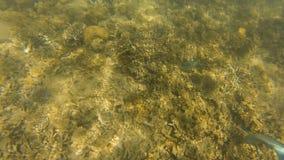 Pescados de la trucha salmonada y un buceador subacuático almacen de metraje de vídeo