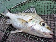 Pescados de los mordedores Fotografía de archivo libre de regalías