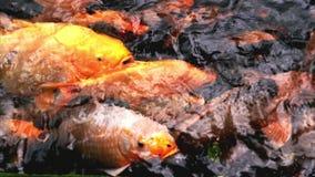 Pescados de lujo coloridos de alimentación de la carpa almacen de video