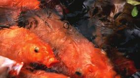 Pescados de lujo coloridos de alimentaci?n de la carpa metrajes