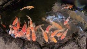 Pescados de lujo de los pescados o de Koi de las carpas almacen de video