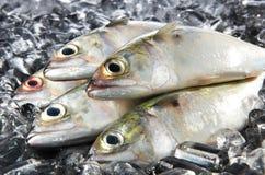 Pescados de Mackeral Foto de archivo libre de regalías