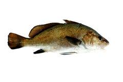 Pescados de Maigre fotos de archivo