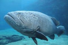 pescados de mar enormes Imagen de archivo