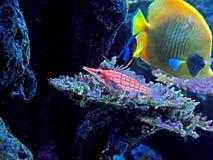 Pescados de mar rayados rojos del acuario con Coral Isolated en fondo de la naturaleza Foto de archivo