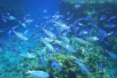 Pescados de Mar Rojo Imágenes de archivo libres de regalías