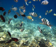 Pescados de mar subacuáticos Fotos de archivo libres de regalías