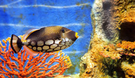 Pescados de mar tropicales Imagen de archivo
