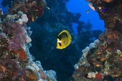 Pescados de mariposa Fotos de archivo libres de regalías