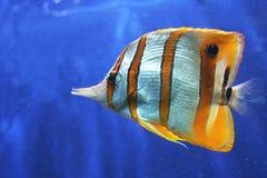 Pescados de mariposa de Copperband imagen de archivo libre de regalías