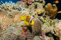 Pescados de Nemo en una anémona Foto de archivo