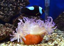 Pescados de Nemo y anémona de mar Fotografía de archivo