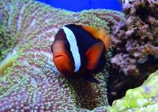 Pescados de Nemo y anémona de mar Foto de archivo