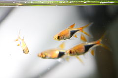 Pescados de neón - pescados tropicales Imagen de archivo libre de regalías