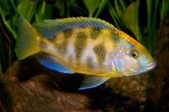 Pescados de Nimbochromis Fotos de archivo