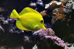 Pescados de oro Imagenes de archivo