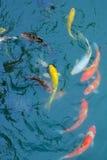 Pescados de oro Imágenes de archivo libres de regalías
