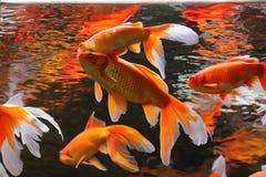 Pescados de oro Fotografía de archivo libre de regalías