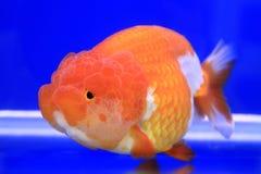Pescados de oro Foto de archivo