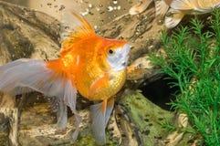 Pescados de oro Foto de archivo libre de regalías