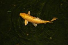 Pescados de oro imagen de archivo libre de regalías