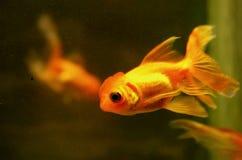 Pescados de oro Imagen de archivo