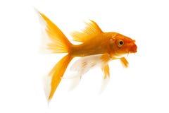 Pescados de oro de Koi Imagenes de archivo