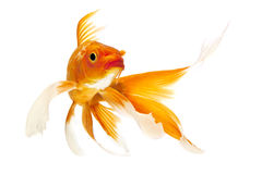 Pescados de oro de Koi Foto de archivo libre de regalías