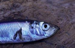 Pescados de plata Fotografía de archivo