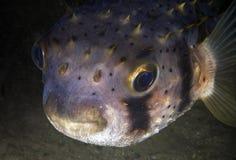 Pescados de puerco espín Foto de archivo